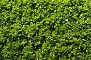 Deep green hedge Stock Photos