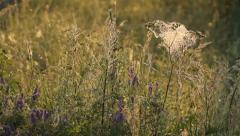 Many cobwebs in the meadow in the morning, close-up, spider's web Stock Footage
