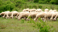 Lambs in the field Stock Footage