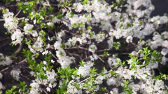 Blooming cherry plum tree in spring sunny day, orchard, Prunus cerasifera Stock Footage