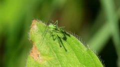 Green striped Grasshopper  on the leaf Stock Footage