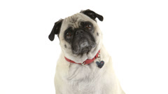 Close-up of pug dog doing head tilts - stock footage