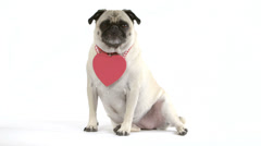 Two shots of dog wearing blank heart Valentine on neck - stock footage