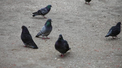 Pigeons walking on the ground, doves looking for food, domestic birds Stock Footage
