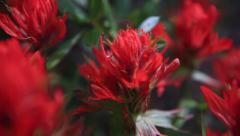 Red flowers red rosy paintbrush wildflower - 4 clips Stock Footage