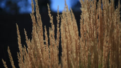 Foxtails blowing in the wind Stock Footage