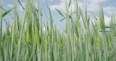 CLOSE UP: Wheat field growing in sunny spring - stock footage