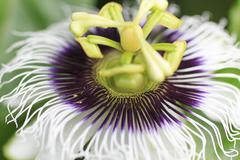 Macro detailed of a passion fruit flower Stock Photos