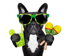 Brazilian french bulldog Stock Photos