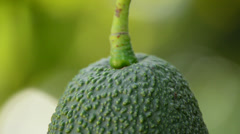Hass avocado hanging in close up Stock Footage