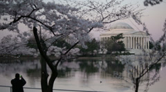 Jefferson morning cherry blossoms Stock Footage