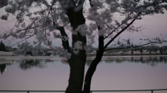tidal basin dc cherry blossoms - stock footage