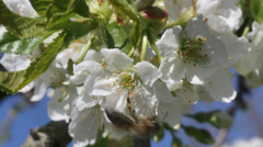 Stock Video Footage of Pollination of cherry flowers.