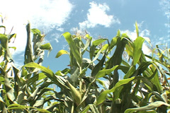 Cornfield  and sky at the background SD 29 Stock Footage