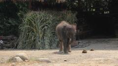 Baby southeast Asia elephant Stock Footage