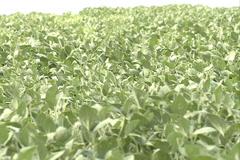 Green Soybean, soya field SD 04 - stock footage