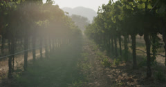 Vineyard Grape Vine Rows with Flare at Sunset Golden Hour Napa Valley - stock footage