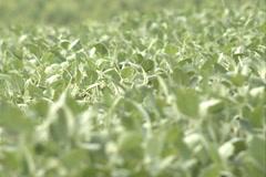 Green Soybean field SD 06 Stock Footage