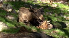 Moose in sweden - springtime Stock Footage
