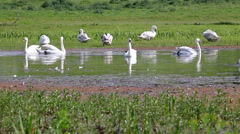 Flock of swan on river Stock Footage