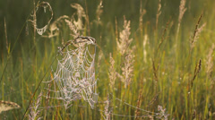 The cobweb on the grass with dew drops, freshness, close-up of spider's web Stock Footage