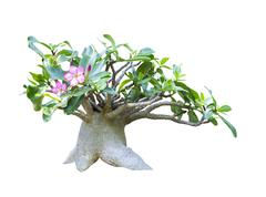 Adenium obesum tree isolated Stock Photos