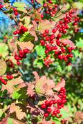 ripe red viburnum on branch against the green leaves - stock photo