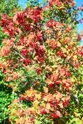 ripe viburnum on branch against the green leaves - stock photo