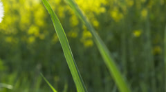 Close up view of dandelion flower Stock Footage