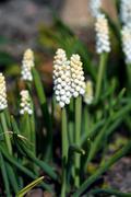 Grape hyacinth (muscari) flowers Stock Photos