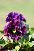 purple pansy - stock photo