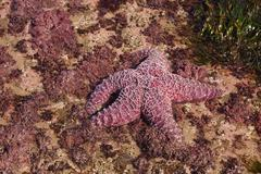 purple sea star exposed by low tides - stock photo