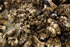 Barnacles and mussels exposed on sea rocks Stock Photos