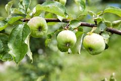 Green apples with water drops on a branch Stock Photos