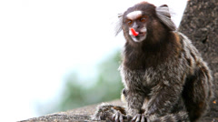 Brazilian small monkey cleaning its fur, Stock Video footage, HD 1080p, 25 fps - stock footage