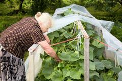 The old woman in a hothouse at bushes of cucumbers Stock Photos