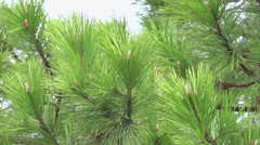 Pine tree at spring time Stock Footage