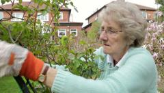Stock Video Footage of senior woman gardener ties back climbing rose in garden, steadicam shot