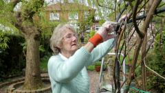 Senior woman gardener ties back climbing rose in garden, steadicam shot Stock Footage
