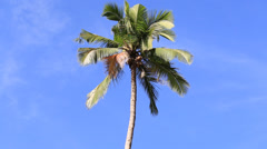 Coconuts palm tree perspective view from floor high up Stock Footage