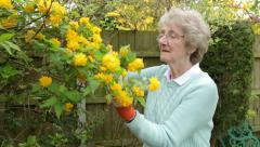 Senior woman gardener cuts yellow flowers, steadicam shot Stock Footage