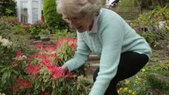 Senior woman walks up garden path and looks at pieris flowers, steadicam shot Stock Footage