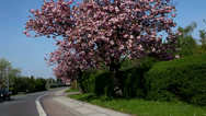 Stock Video Footage of Cherry blossoms at roadside