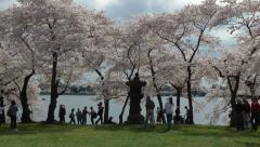 Stone Lantern Cherry Blossoms, DC Stock Footage