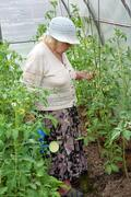 The old woman in a hothouse waters tomatoes Stock Photos