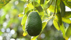 Collecting avocado Stock Footage