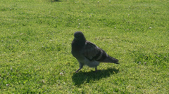 4K Pigeons walking on the grass Stock Footage