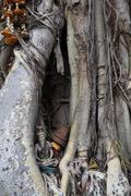 Hermit statue inside bodhi tree Stock Photos