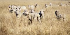 Smiling Sheep - stock photo