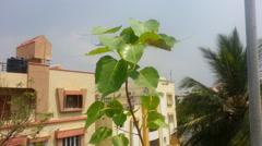Pee pal plant( RAAVI CHETTU, RAGI CHETTU) beautiful movement with nature Stock Footage